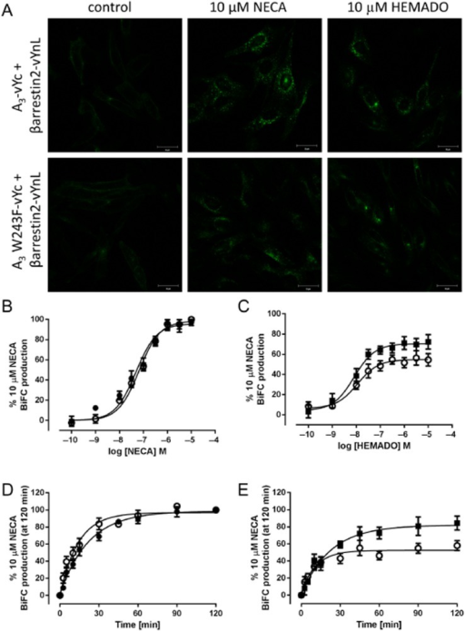 Visualization and quantitative analysis of agonist-stimulated A3 receptor or A3 W243F receptor BiFC with β-arrestin2. (A) Confocal images of A3-vYc/β-arrestin2-vYnL- (top panels) and A3 W243F-vYc/β-arrestin2-vYnL- (bottom panels) expressing cells were obtained in the absence (left-hand panels) of agonist. Cells were stimulated with 10 μM NECA (middle panels) or 10 μM HEMADO for 60 min (left-hand panels). Images were obtained using a Zeiss 710 confocal microscope and are representative of those obtained in three separate experiments. Quantitative analysis of agonist-stimulated BiFC was carried out on images obtained from the ImageXpress Ultra confocal plate reader. A3-vYc/β-arrestin2-vYnL (closed symbols) and A3 W243F-vYc/β-arrestin2-vYnL- (open symbols) expressing cells were stimulated with increasing concentrations of (B) NECA or (C) HEMADO for 60 min before imaging and automated image analysis as described in the Methods section. To examine the time course of BiFC formation, A3-vYc/β-arrestin2-vYnL (closed symbols) and A3 W243F-vYc/β-arrestin2-vYnL- (open symbols) expressing cells were stimulated with 10 μM NECA (D) or HEMADO (E) for increasing amounts of time (2.5–120 min). Each data point represents the mean ± SEM of at least five separate experiments performed in triplicate.