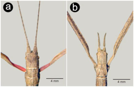 Details of head, antennae, and pronotum in dorsal view: a — female Carausius morosus, b — female Clonopsis gallica. High quality figures are available online.