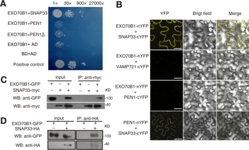 EXO70B1 associates with SNAP33.(A) EXO70B1 interacted with SNAP33 in yeast two-hybrid assays. Overnight culture from a single colony was diluted with sterile water to OD = 0.5, and serial dilutions 1:30, 1:900, 1:27,000 were prepared and dropped onto SD-Ade-His-Leu-Trp plates at 28°C, respectively. Each drop was 10 μL. The photograph was taken at day 5 after plating. PEN1Δ: PEN1 without transmembrane domain. (B) EXO70B1 and SNAP33 interaction was examined with BiFC assays in N. benthamiana. EXO70B1 was fused to the N-terminal fragment of YFP (nYFP); SNAP33, PEN1 and VAMP721 were fused to the C-terminal fragment of YFP (cYFP). Cauliflower mosaic virus 35S promoter (35Spro) was used in this assay. YFP fluorescence was observed only with the transiently expressed EXO70B1-nYFP and SNAP33-cYFP, but not EXO70B1-nYFP and VAMP721-cYFP nor EXO70B1-nYFP and PEN1-cYFP in N. benthamiana. The combination of PEN1-nYFP and SNAP33-cYFP was used as the positive control. Bar = 50 μm. (C) EXO70B1 interacted with SNAP33 in a Co-IP assay in N. benthamiana. EXO70B1pro:EXO70B1-GFP was co-expressed with 35Spro:SNAP33-Myc in N. benthamiana leaves. Total protein was extracted and subjected to immunoprecipitation of SNAP33 protein by anti-Myc antibody. Proteins were analyzed in an immunoblot using antibodies as indicated. (D) Co-IP of EXO70B1 and SNAP33 using transgenic Arabidopsis plants. The exo70B1-3 transgenic plants expressing EXO70B1pro:EXO70B1-GFP and SNAP33pro:SNAP33-HA were used in the Co-IP assay. Total protein was extracted from 3-week-old transgenic plants that express both EXO70B1-GFP and SNAP33-HA, or EXO70B1-GFP alone (negative control). The SNAP33 protein was immunoprecipitated by anti-HA antibody, followed by immunoblot analysis with the GFP antibody to detect the presence of EXO70B1-GFP in the precipitate.