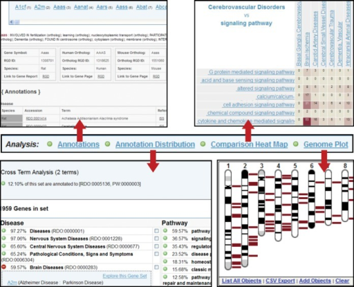 The Gene Annotator Tool. Shown in the center of the figure is the menu bar from the Gene Annotator (GA) tool. The default result is the 'Annotations' page (top left), which gives detailed lists of annotations for each gene in the input list and its corresponding orthologs, as well as a list of external database identifiers for that gene with links to additional information at the other databases. The 'Annotation Distribution' analysis (bottom left) indicates the percentage of genes in the input list associated with lists of disease, pathway, phenotype, biological process, molecular function, cellular component and chemical interaction terms, beginning with the terms that appear most commonly. Selecting a term shows the subset of the input list of genes that are associated with that term or any more specific term beneath it in the ontology. Check boxes allow the user to select multiple terms within one or across multiple ontologies to see the genes with annotations to all the selected terms. This smaller subset of the original list can then be entered into the GA Tool for further analysis. The 'Comparison Heat Map' function (top right) allows users to select any two ontologies, or to view the overlap between two branches of the same ontology. In this case, the number of genes from the original input list which are associated with disease categories under 'Cerebrovascular Disorders' and pathway categories under 'signaling pathways' are shown, with intersections containing a higher number of associated genes displayed as increasingly darker colors. Finally, the 'Genome Plot' (bottom right) shows the location of each gene in the list against the full set of chromosomes for the species, in this case, the rat karyotype, with the chromosomal positions for all the genes in the list presented in a table below the image (not shown). Functionality for the Genome Plot is the same as that described earlier for the Genome Viewer tool.