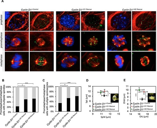 Cyclin D1 induction of centrosome amplification and mitotic spindle disorganization is independent of cyclin D1 kinase activity(A) Representative confocal maximum Z projections of mitotic cells from cyclin D1−/−Control, cyclin D1−/−D1 Rescue and cyclin D1−/−KE Rescue. Cells were immunostained for α-tubulin (red), γ-tubulin (yellow), crest (green), and Hoechst (blue). Scalebar 5 μm. (B) Frequencies of mitotic cells with multiple polar spindles (**p = 0.0051, ***p = 0.0004; calculated by Fisher contingency test). (C) Frequency of cells with multiple chromosomes (*p = 0.021, ***p = 0.0007; calculated by Fisher contingency test). (D and E) Spindle measurements on maximum Z projections of metaphase cyclin D1−/−, cyclin D1−/−D1 Rescue and cyclin D1−/−KE Rescue cells. Measurement of metaphase plate dimensions (DAPI): ChL, chromatin length; ChW, chromatin width (**p = 0.0087, ***p < 0.001). Measurement of spindle dimensions (tubulin): SpW, spindle width; SpL, spindle length (*p = 0.0486; data are mean of ± SEM).