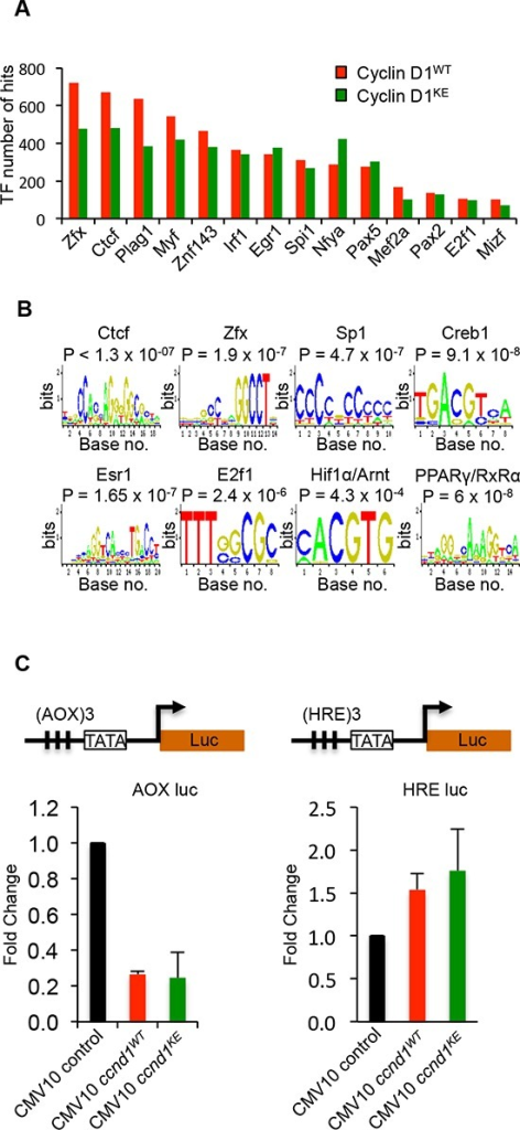 Identification of transcription factor motifs found in cyclin D1WT and cyclin D1KE interval sequences(A) Selection of transcription factor motif hits common between Cyclin D1WT and cyclin D1KE interval sequences (B) Representative TF motifs found in the interval regions associated with cyclin D1WT and cyclin D1KE(C) Luciferase reporter gene assays were conducted using the Peroxisome Proliferator-Activated Receptor γ (AOX-LUC) (left panel) and Hypoxia Responsive Element (HRE-LUC) (right panel) luciferase reporter constructs. The number of responsive elements for each construct is depicted in the reporter schematic. HEK293T cells were co-transfected with cyclin D1 (50 ng). Data are of n = 2 separate experiments, mean ± SEM.