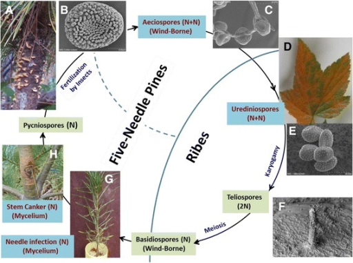 Cronartium ribicola life cycle with five stages of spore development. a Blisters on the infected white pine stem; b Aeciospore; c Aeciospore germination; d Rust fungus growth on an infected Ribes leaf; e Urediniospores; f Telia on Ribes leaf; g One-year-old susceptible seedling ~6 months (March) post needle infection by basidiospores; h A typical canker on western white pine stem ~20 months post infection on needles. The four rust development stages sampled for comparative analysis of rust fungal transcriptomes are indicated by red letters