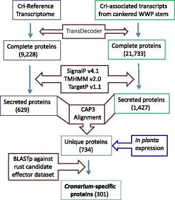 Workflow of secretome prediction using bioinformatics tools for the comprehensive characterization of proteins secreted at spore development stages or during the in-planta mycelium growth stage in infected stems of western white pine