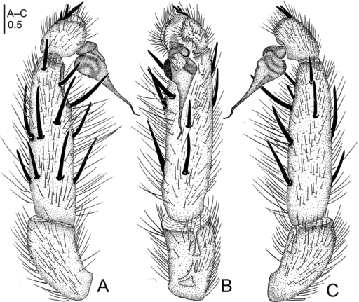Raveniolaalpina sp. n., male holotype. A palp, prolateral view B palp, ventral view C palp, retrolateral view. Scale bar: 0.5 mm.