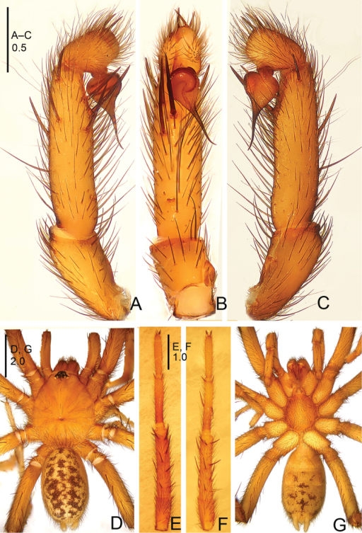 Raveniolabellula sp. n., male holotype. A palp, prolateral view B palp, ventral view C palp, retrolateral view D habitus, dorsal view E leg I, ventral view F leg II, ventral view G habitus, ventral view. Scale bars: 0.5 mm (A–C); 2.0 mm (D, G); 1.0 mm (E, F).