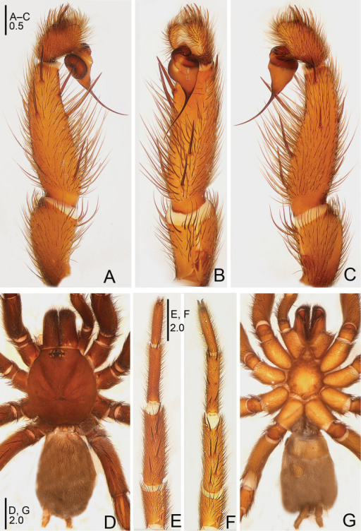Raveniolarugosa sp. n., male holotype. A palp, prolateral view B palp, ventral view C palp, retrolateral view D habitus, dorsal view E leg I, ventral view F leg II, ventral view G habitus, ventral view. Scale bars: 0.5 mm (A–C); 2.0 mm (D–G).
