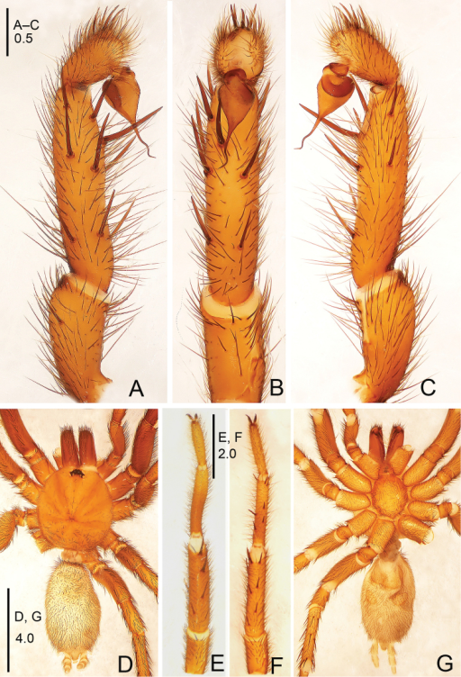 Raveniolaspirula sp. n., male holotype. A palp, prolateral view B palp, ventral view C palp, retrolateral view D habitus, dorsal view E leg I, ventral view F leg II, ventral view G habitus, ventral view. Scale bars: 0.5 mm (A–C); 4.0 mm (D, G); 2.0 mm (E, F).
