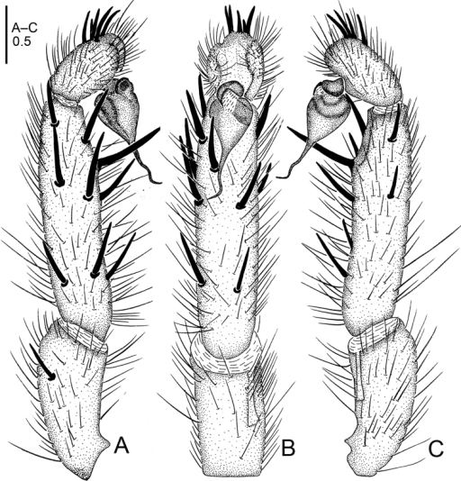 Raveniolaspirula sp. n., male holotype. A palp, prolateral view B palp, ventral view C palp, retrolateral view. Scale bar: 0.5 mm.