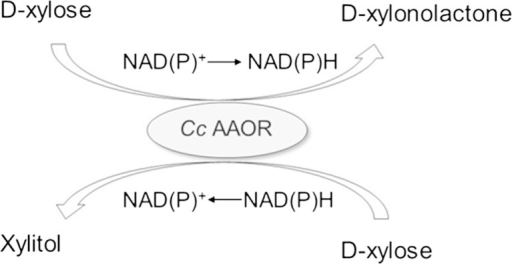 Suggested oxidation-reduction reactions on D-xylose, carried out by the Cc AAOR enzyme from C. crescentus