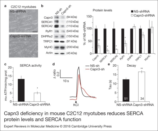 Capn3 deficiency in mouse C2C12 myotubes reduces SERCA protein levels and SERCAfunction. (a) C2C12 myotubes treated with NS or Capn3 shRNAs and differentiated for7 days. Scale bar = 100  μm (b) Western blot analysis showing significant decreaseof Capn3 (SPA antibody), SERCA1, SERCA2 and RyR1 levels in Capn3 knockdown myotubes,compared with controls (*P < 0.05;**P < 0.01). Total levels of DHPR, TRPC1, MyHC and actin arenot significantly changed. N = 3 independent experiments run on thesame gel. (c) SERCA-specific ATPase activity determined in homogenates from C2C12myotubes. Capn3-deficient myotubes show a significant reduction of SERCA activitycompared with NS-controls (n = 3,*P < 0.05). (d and e) Ca2+ imaging of C2C12myotubes loaded with Fura2-AM shows delayed Ca2+ clearance from thecytosol in Capn3 knockdown myotubes. (d) Two representative traces of changes inFura2-AM fluorescence ratios(F340/F380) fromCapn3-shRNA and NS-shRNA treated myotubes. Ca2+ transients were elicitedby local stimulation with KCl 50 mm in the absence of extracellularCa2+. (e) Tau, the time constant of the Ca2+ transient decayphase in seconds (s), is significantly increased in Capn3-deficient myotubes.**P < 0.01, n= total number of myotubesrecorded from six different experiments are shown in the graph.