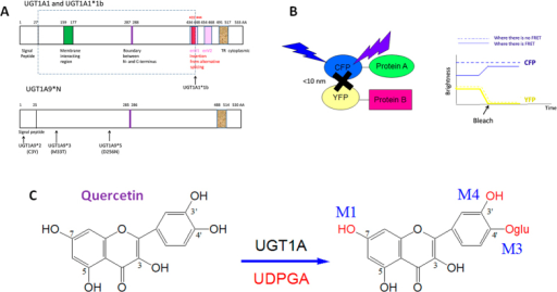 Dimerization of human UGT 1A1 and 1A9 alters their quercetin glucuronidation activities.(A) Domains of UGT1A1*1/*1b and UGT1A9*1/*2/*3/*5; (B) Dimer detection by FRET using CFP and YFP tags; (C) Chemical reaction of quercetin glucuronidation catalyzed by UGT1A.
