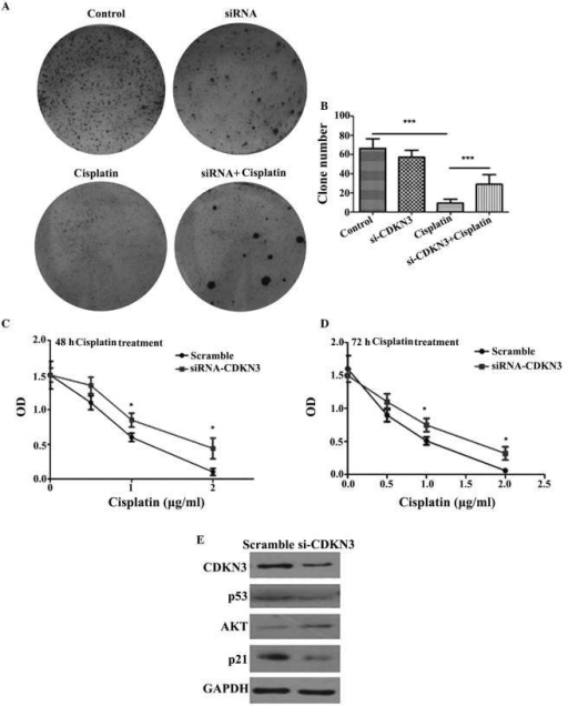Depletion of CDKN3 increased cell survival and cisplatin tolerance by activation of the AKT/p53/p21 pathway. (A) Tumor clone formation assay was performed to test clone formation capacity of different tumor cells. (B) Clone formation assay data. ***P<0.001, comparison indicated by brackets. Cell viability of cells was assessed by 3-(4,5-dimethylthiazol-2-yl)-2,5-diphenyltetrazolium bromide assay following (C) 48 h and (D) 72 h cisplatin treatment. *P<0.05 vs. the scramble control. (E) Western blotting was used to detect the levels of the AKT/p53/p21 signaling pathway proteins. siRNA, small interfering RNA; CDKN3, cyclin-dependent kinase inhibitor 3; AKT, AKT serine/threonine kinase 1; OD, optical density.