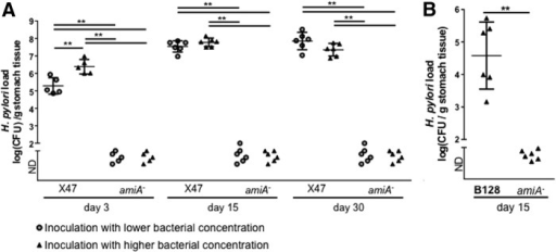 Mice colonization with WT X47-2AL and its isogenic amiA mutants after 3, 15, and 30 days of infections (A), and with WT B128 and its isogenic amiA mutants 15 days after infection (B). For each experiment, we used an even mixture of three independent clones of the amiA mutants. Since the amiA mutant chains, we considered it was plausible that we were not able to detect colonization of the mutant using a low infectious dose (represented with gray circles). Therefore, a higher dose was also tested (represented with dark triangles). The amiA mutant was still unable to colonize C57/BL6J mice (ND = non detectable). The data were submitted to a Mann–Whitney test (**p < 0.01).