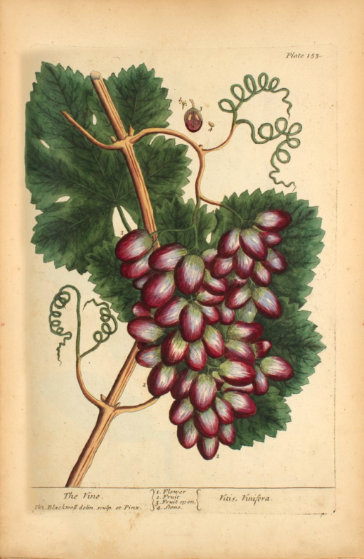 <p>Illustration of the flower, fruit, and stones of a vine plant.</p>