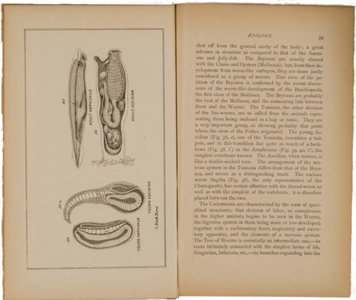 <p>Image of p. 39 and facing plate from Chapman's Evolution of life. The plate has illustrations of young amphioxus, young ascidian, adult amphioxus, and adult ascidian.</p>