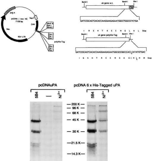 "Construction, expression, and selective purification of  polyhistidine-tagged pro-urokinase. (Upper part) In the BamHI– XhoI excised pcDNAneoI, a double strand oligonucleotide encoding the twelve COOH-terminal amino acids of pro-uPA followed by a ""spacing-arm,"" a stretch of six histidines and a stop  codon, was inserted. A large BamHI fragment containing the remainder of pro-uPA gene was subsequently inserted in the  unique BamHI site (see Materials and Methods). (Lower part)  The plasmids either encoding pro-uPA (pcDNAuPA) or Hispro-uPAwt (pcDNA6xHis-tagged uPA) were transiently transfected in HeLa cells: 48 h later, aliquots of the serum-free conditioned media from the transfectants were incubated with 5B4  anti-uPA (5B4) or with Ni-NTA (Ni2+) or with an irrelevant antibody (−), and the resulting samples were analyzed by SDSPAGE under reducing conditions."