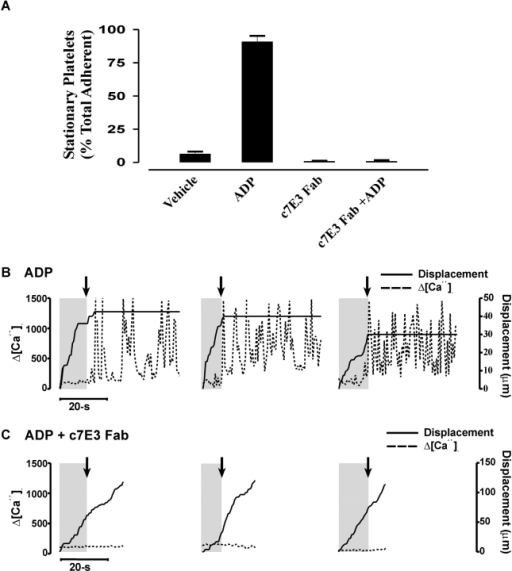 Sustained calcium flux is dependent on cooperative signaling between integrin αIIbβ3 and ADP secretion. Isolated platelets reconstituted in Tyrode's buffer with RBCs (50% hematocrit) were perfused through vWf-coated (100 μg/ml) microslides at a shear rate of 1,800 s−1 and subsequently chased by a bolus of 12.5 μM ADP. (A) The percentage (mean ± SEM of three experiments) of the total adherent platelet population forming irreversible stationary adhesion in the presence or absence of 10 μM ADP and/or c7E3. (B) Representative single-platelet calcium flux recordings and concomitant displacement versus time graphs showing platelet behavior at the surface of immobilized vWf. Note that the platelets arrest almost immediately upon ADP addition, concomitant with the onset of oscillatory calcium flux. (C) Representative single-platelet calcium flux recordings and concomitant displacement versus time graphs showing platelet behavior upon ADP addition after pretreatment with the anti-αIIbβ3 blocking c7E3 Fab (20 μg/ml). The shaded boxes indicate the platelet behavior before ADP stimulation. The arrow indicates the point of ADP addition. Note that ADP-dependent oscillatory calcium flux is completely inhibited by c7E3 Fab treatment.