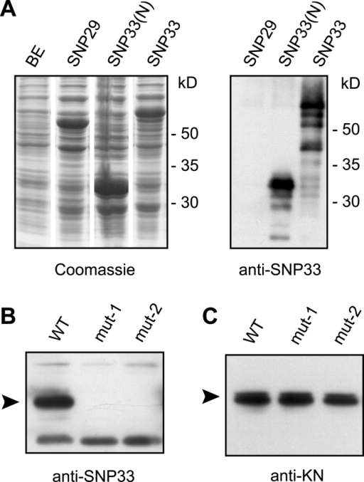 Characterization of an antiserum raised against SNP33. (A) The anti-SNP33 serum was tested on extracts from bacteria expressing GST-SNP33 (SNP33), an NH2-terminal fragment of SNP33 fused to GST (SNP33(N)) or a GST fusion of the related AtSNAP29 (SNP29). The left panel shows a Coomassie-stained gel to compare the amounts of total protein loaded. BE, bacterial extract without recombinant protein. For the Western blot (right panel), 1:200 dilutions of the extracts were used. (B and C) Total protein extracts from wild-type (WT) and two snp33 (mut-1 and mut-2) mutant callus cultures were separated on SDS-PAGE gels, transferred to PVDF membranes, and detected with anti-SNP33 serum (B) or anti-KN serum (C, control). The arrowheads mark the sizes of the expected proteins. KN expression was the same in all extracts, indicating equal loading. A band of about 33 kD was detected by the anti-SNP33 serum in wild-type but not in snp33 mutant extracts.