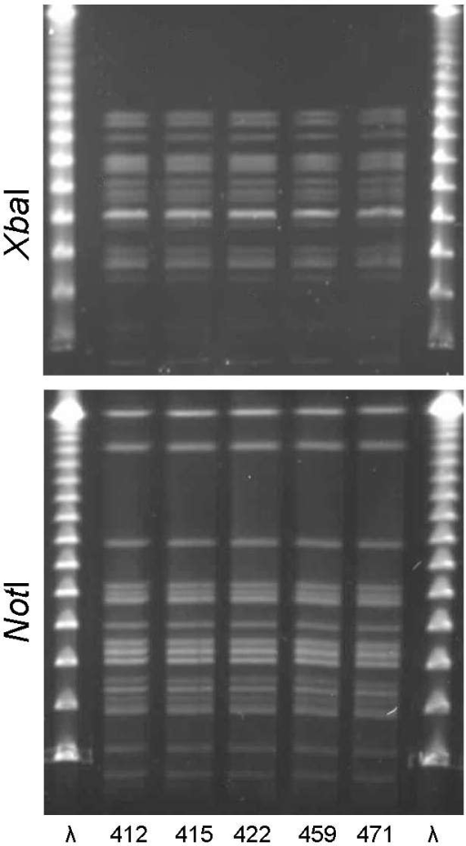 XbaI and NotI pulsed-field gel electrophoresis patterns for clonal group H Escherichia coli isolated from women with urinary tract infections in Montréal, Québec, Canada, 2006. The 5 isolates shown were serogroup O6:H1. First and last lanes, bacteriophage λ.