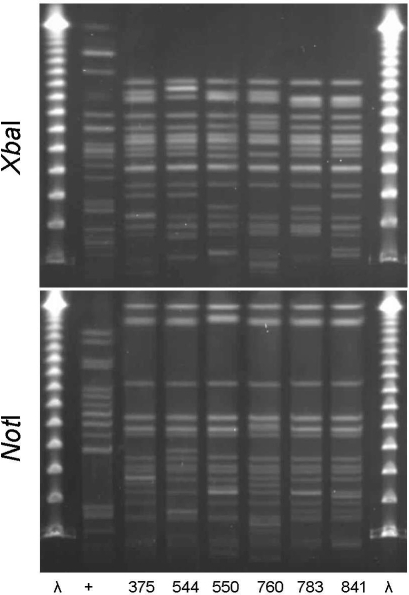 XbaI and NotI pulsed-field gel electrophoresis patterns for clonal group I Escherichia coli isolated from women with urinary tract infections in Montréal, Québec, Canada, 2006. The 6 isolates shown were resistant to ciprofloxacin and in serogroup O25:H4. First and last lanes, bacteriophage λ; lane +, positive control.