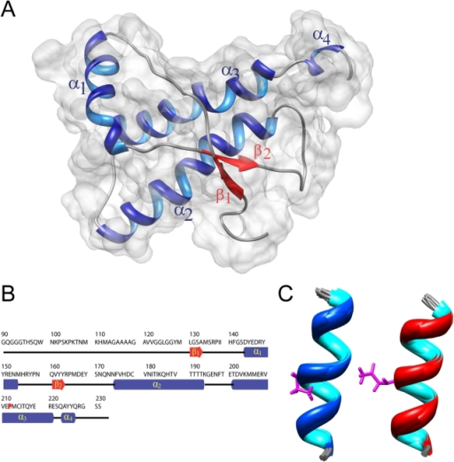 High-resolution structure of HuPrP(90–231, M129, Q212P).(A) Cartoon representation of the lowest energy structure on the van der Waals surface. (B) Sequence of HuPrP(90–231, M129, Q212P) protein. The elements of secondary structure are shown. (C) Structural details of α3 helix in the family of 20 lowest energy structures from Met205 to Arg220 in the Q212P mutant (left, pdb id 2KUN) and WT HuPrPC (right, pdb id 1QM1) [25]. Residues Pro212 and Gln212 are presented in pink. The r.m.s.d. for backbone atoms in residues between Met205 and Arg220 in both ensembles is 0.7 Å.