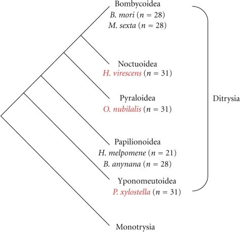Schematic representation of phylogeny of Lepidoptera and haploid chromosome numbers of species referred to in the text. The phylogeny is based on the studies of Regier et al. [18]. Neither Bombycoidea nor Noctuidae are monophyletic, but form a clade clearly distinguishable from Pyraloidea and butterflies including Papilionoidea [18].