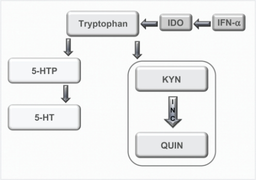 Tyrptophan–Kynurenine pathway. Diagram showing the alteration of tryptophan metabolism by IFN-α. Tryptophan is normally converted in 5-hydroxy tryptophan (5-HTP) and serotonin (5-HT). However, this metabolism is switched to the KYN pathway by IDO, which is induced by immune stimuli such as IFN-α, and it is this pathway that produced the neurotoxin quinolinic acid (QUIN). Copyright © 2002, Elsevier. Adapted with permission from Konsman JP, Parnet P, Dantzer R. Cytokine-induced sickness behaviour: mechanisms and implications. Trends Neurosci. 2002;25(3):154–159.