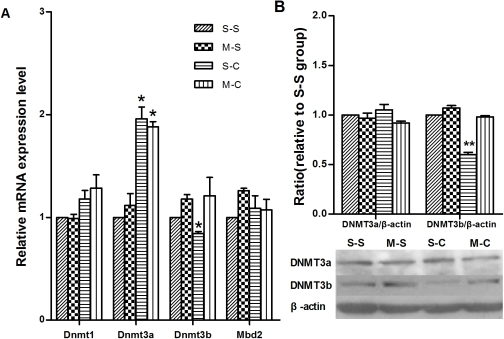 Effects of methionine on the mRNA and protein expression of DNMTs.(a) The effects of methionine on the mRNA expressional alteration of Dnmts and Mbd2 induced by cocaine-CPP. Data depicted as the relative gene expression level. (b) The effects of methionine on the alteration of DNMT3a and 3b induced by cocaine-CPP. Data depicted as the relative protein expression level. *p<0.05 in comparison with S-S group. Data are expressed as mean±SEM. [S-S: n = 8(Fig. a), n = 10(Fig. b); M-S: n = 7(Fig. a), n = 9(Fig. b); S-C: n = 10(Fig. a), n = 9(Fig. b); M-C: n = 10(Fig. a), n = 8(Fig. b)].