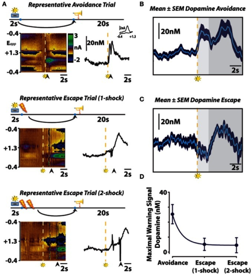 The role of subsecond dopamine release during conditioned avoidance. (A) Changes in subsecond dopamine release observed in different response types observed in a single session. Representative color plots (left) and dopamine concentration traces (right) show avoidance (top), one-footshock escape (middle), and two-footshock escape (bottom) responses. Left, the y-axis represents the scan potential (Epp, V) applied to the electrode, the x-axis represents time, and the z-axis represents current. Inspection of the color plot allows for the identification of dopamine over time. Dopamine can be identified in the color plot by assessing for changes in current at the oxidation (+0.6V) and reduction (−0.2V) potentials for dopamine. Right, representative dopamine concentration traces plotted as a function of time with the inset showing the cyclic voltammograms for dopamine. Arrows indicate lever responses, lightning bolts indicate footshocks, trumpets indicate safety periods, levers + lights indicate warning signals. (B,C) Mean ± SEM dopamine concentration traces from all avoidance and escape responses. Maximal warning signal duration is representative by the light gray fill, subsequent safety periods are represented by the dark gray fill. (D) Maximal dopamine concentration evoked by warning signal presentation predicts conditioned avoidance. Originally published in Oleson et al. (2012).