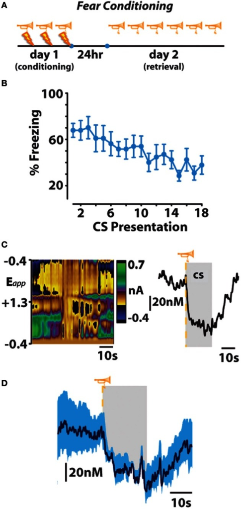 Fear-conditioned stimuli freeze behavior and subsecond dopamine release events. (A,B) An otherwise neutral stimulus (trumpet) previously conditioned to inescapable footshock (lightning bolt) produces freezing behavior that extinguishes across repeated trials of conditioned stimulus (CS) presentation on fear-memory retrieval day. (C) Representative color plot (left) and corresponding dopamine concentration trace (right) show a CS-induced decrease in dopamine release. Gray represents CS duration. (D) Mean ± SEM dopamine concentration trace during presentations of the fear-conditioned CS. Originally published in Oleson et al. (2012).