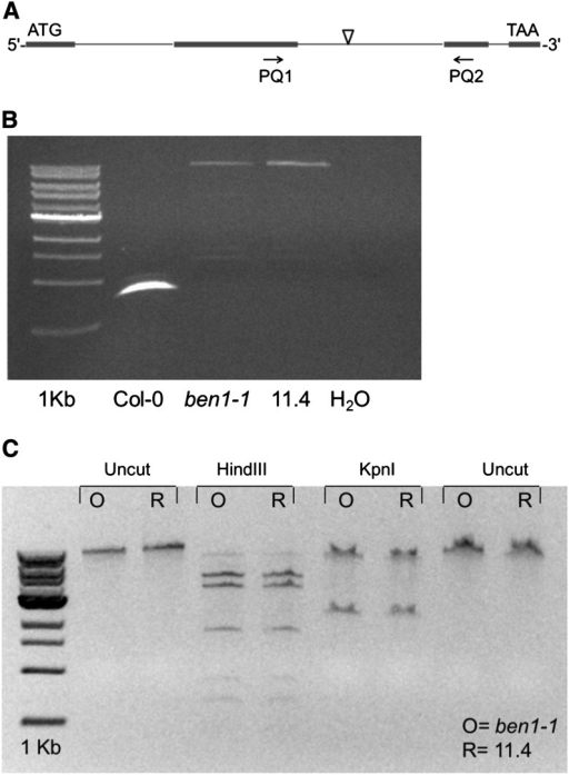 The size and sequence of the T-DNA insertion remains unchanged in the pretriple and posttriple ben1-1 lines. (A) Graphic depiction of the location of the second intron flanking primer pair used for amplification in the ben1-1 allele. (B) The genomic PCR using the second intron flanking primers amplify equal size band from the original ben1-1 and the recovered ben1-1 line. (C) The original and the recovered ben1-1 alleles show identical restriction digestion pattern. The PCR amplification product from gel image (B) was gel purified and restriction digested with HindIII and KpnI.