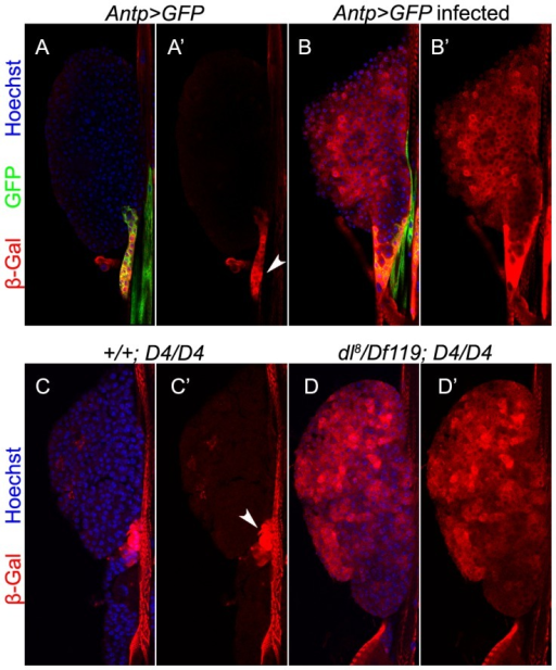 Effect of wasp infection on D4-lacZ expression.A–A′. Uninfected Antp>GFP animals. D4-lacZ is expressed mostly in the niche (A′, arrowhead) where it colocalizes with Antp>GFP (A, yellow). B–B′. L. boulardi infection triggers four-fold increase in the expression of D4-lacZ (23.06±4.22 versus 89.65±41.4; t = −6.37, df = 14.7, p<0.001; N = 4 glands for uninfected and 8 for infected). D4-lacZ is also activated in cells of the anterior lobes. C–D′. Niche expression of D4-lacZ is abolished in glands lacking a functional dl gene (D, D′), but is observed in controls (C–C′). The reporter is expressed ectopically in the mutant but not control lobe cortex.