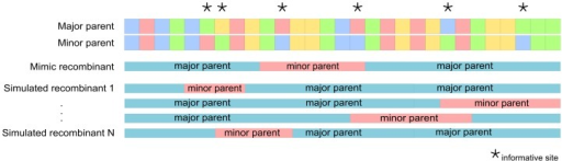 "Diagrammatic representation of how simulated recombinants were generated.For a particular recombination event specifying a major parent, a minor parent, and a pair of recombination breakpoint locations delineating a fragment of sequence derived from the minor parent (containing in this particular case two nucleotides that vary between the major and minor parents), an in silico mimic of the real recombinant sequence is created using the minor and the major parent sequences. Following that, a set of N simulated recombinants is generated in a similar way to the mimic recombinant, but using random starting and ending positions, whilst maintaining the same number of either variable nucleotides (for the RNA folding tests) or non-synonymous codon sites (for the protein folding tests) between the randomized breakpoint sites as occur in the mimic recombinant. In this example the mimic and simulated recombinants all have two such ""informative"" sites between the 3′ and 5′ breakpoints that are not identical between the parental sequences."