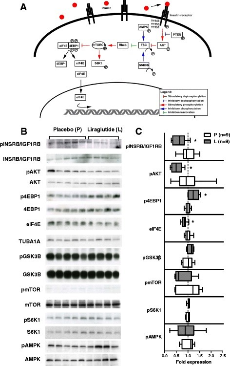 Western blot analysis of the mTOR mediated insulin-stimulated pathway. (A) Overview of the growth-regulating mTOR signaling pathway. (B) Western blot analyses of protein extracted from skeletal muscle showing blots of phosphorylated (upper panel) and not phosphorylated (lower panel) up- and down-stream regulators of the mTOR pathway in liraglutide- (left side of the blot) and placebo-treated (right side of the blot) GIPRdn transgenic pigs. For elF4E not phosphorylated molecule (upper panel) is referred to tubulin (lower panel). (C) Quantitative analysis of Western blot signals, results are expressed as ratio of phosphorylated to not phosphorylated regulator and for eIF4E as absolute fold expression, related to the mean value of the placebo group, respectively, and presented as box plots with median, n = number of animals investigated, black plots = liraglutide-treated animals, white plots = placebo-treated animals, * = p < 0.05.