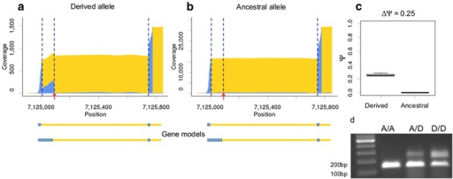 Genotype-specific alternative donor site associated withcis-sQTL in canonical splicing dinucleotide.De novo donor site and inclusion of an 84 bp segment that was associated with cis-sQTL in canonical splicing dinucleotide. a-b: Exon/intron coverage plots of the genotype-specific splicing event are shown for the F1-hybrids that carried derived (a) and ancestral (b) variants of cis-sQTL on natural alleles. Tester alleles of all F1-hybrids carried ancestral variant of cis-sQTL. c: The distributions of Ψ-values for alleles of this cis-sQTL. d: RT-PCR validation of gene models. The predicted lengths of PCR-products corresponding to the long and short isoforms were 234 bp and 150 bp, respectively. For other details see the legend to Figure 2.