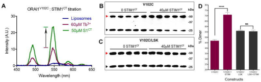 STIM1-mediated conformational change at residue V102(a) Tb3+ luminescence from ORAI1V102C showing STIM1CT (S1CT)-dependent enhancement of the Tb3+ signal comparable to that observed with ORAI1WT (Figure 2b). Representative of 3 experiments. (b,c) Western blot analyses of S. cerevisiae sec6-4 vesicles expressing the Flag-tagged ORAI proteins V102C ORAI1 and LSK/V102C ORAI1, following Cu2+-phenanthroline crosslinking in the absence or presence of STIM1CT. Multiple samples were treated in parallel for each condition. Red and black arrowheads demarcate ORAI1 dimer and monomer bands, respectively. Representative of 3–5 experiments. (d) Fraction of ORAI1 in the dimer band (mean ± SEM) from gels shown in Figure 5b–c. ****, p < 0.0001 by two-tailed Student's t-test. No change was found in disulfide-linked dimer formation of FLAG-ORAI1LSK/V102C following STIM1CT treatment (NS, p > 0.05).