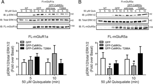 Effect of CaMKIIα overexpression on mGluR1a- and mGluR5a- -stimulated ERK1/2 phosphorylation. A) Shown are representative immunoblots for FL-mGluR1a expression, p-ERK1/2 activity and total-ERK1/2 expression in HEK 293 cells transiently transfected with 3 μg of pcDNA3.1 encoding FLAG-mGluR1a along with 0.5 μg of plasmid cDNA encoding either GFP, GFP-CaMKIIα or GFP-CaMKIIα-T286A in response to 50 μM quisqualate treatment for 0, 5 and 10 min. Bar graph shows the densitometric analysis of ERK1/2 phosphorylation normalized to both basal and total ERK1/2 protein expression. Data represents the mean ± SD of five independent experiments. *P < 0.05 versus GFP transfected control cells. B) Shown are representative immunoblots for, FL-mGluR5a expression, p-ERK1/2 activity and total-ERK1/2 expression in HEK 293 cells transiently transfected with 3 μg of pcDNA3.1 encoding, FL-mGluR5a along with 0.5 μg of plasmid cDNA encoding either GFP, GFP-CaMKIIα or GFP-CaMKIIα-T286A in response to 50 μM quisqualate treatment for 0, 5 and 10 min. Bar graph shows the densitometric analysis of ERK1/2 phosphorylation normalized to both basal total ERK1/2 protein expression. Data represents the mean ± SD of five independent experiments. *P < 0.05 versus GFP transfected control cells.