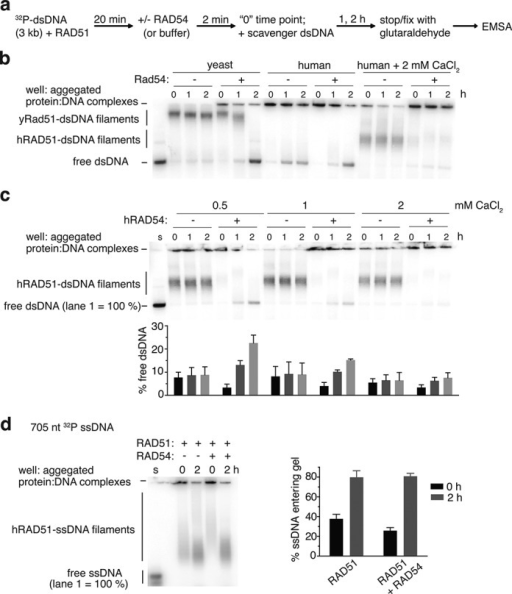 Human RAD54 disassembles human RAD51-dsDNA filaments in vitro. (a) Scheme of electrophoretic mobility shift assay (EMSA) for RAD54-mediated disassembly of RAD51-dsDNA filaments. A 3 kilobase dsDNA substrate (6 μM bp) that is 5′ end-labeled with 32P is incubated with RAD51 (1.5 μM) for 20 min at room temperature (∼23°C). RAD54 (100 nM) is then added, or identical buffer, and incubation continued for 2 min. A 30 μM bp pUC19 'scavenger' dsDNA is then added to bind RAD51 protein that is removed by RAD54, preventing rebinding to the original dsDNA. After 1 or 2 h, the reaction is stopped by fixation with 0.25% glutaraldehyde and subject to TAE-agarose gel electrophoresis. (b) Phosphorimage of EMSA performed with human or yeast Rad51+/- Rad54 cognate pairs. Reactions contained 4 mM MgCl2 and CaCl2 where indicated. (c) Calcium titration into the disassembly reaction, with 4 mM magnesium ion and the indicated concentration of calcium. Quantitation corresponding to each lane condition is provided underneath the gel image. The first lane (marked 's') contains DNA substrate and no protein and represents 100% signal to which the other lanes' free DNA are normalized. Error bars are the standard deviation of three independent experiments. (d) Experiment performed with a 705 nt ssDNA substrate (6 μM nucleotide) and 0.5 mM CaCl2. The doublet band seen in the substrate only lane, marked 's', is likely due to alternative secondary structural forms of the ssDNA substrate. Error bars are the standard deviation of three independent experiments.