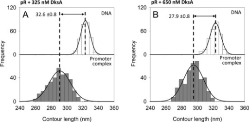 DNA contour length distributions of bare DNA (top panels) and specific complexes (bottom panels) assembled onto a 1004 bp long DNA fragment harboring the pR promoter. (A) With 325 nM DksA. (B) With 650 nM DksA.