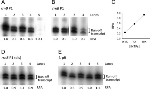 In vitro single-round transcription assays. (A) rrnB P1 promoter activity with 1X iNTPs (1 mM ATP, 0.1 mM CTP) and with no modulators (lane 1); with 200 μM ppGpp (lane 2); with 650 nM DksA (lane 3); with 200 μM ppGpp and 650 nM DksA (lane 4); without iNTPs (lane 5). (B) rrnB P1 promoter activity with 10X iNTPs (10 mM ATP, 1 mM CTP) and no modulators (lane 1); with 10X iNTPs and 650 nM DksA (lane 2); with 0.1X iNTPs (0.1 mM ATP, 0.01 mM CTP) and no modulators (lane 3); with 0.1X iNTPs and 650 nM DksA (lane 4). (C) Plot of the rrnB P1 relative promoter activity (RPA) in the presence of 650 nM DksA versus the iNTPs concentration. (D) rrnB P1 (dis) promoter activity with 1X iNTPs and with no modulators (lane 1); with 200 μM ppGpp (lane 2); with 650 nM DksA (lane 3); with 200 μM ppGpp and 650 nM DksA (lane 4). (E) λ pR promoter activity with no modulators (lane 1); with 200 μM ppGpp (lane 2); with 650 nM DksA (lane 3); with 200 μM ppGpp and 650 nM DksA (lane 4); with 200 μM ppGpp added after RPo formation (lane 5). All transcription reactions were carried out in the presence 100 μg/ml heparin. The two bands of the transcript are probably due to inhomogeneous run-off termination. For each gel, the RPA indicated below each lane was determined from the cumulative intensity of the two bands relative to that in lane 1 except for lane 4 in panel B which is relative to lane 3.