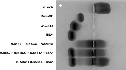 Native agarose gel electrophoresis of Hnea recombinant carboxysome protein and Hnea RuBisCO mixtures. Lanes from top to bottom: rCsoS2 (20 µL at 0.6 mg/mL), RuBisCO (20 µL at 1.1 mg/mL), rCsoS1A (20 µL at 0.7 mg/mL), BSA (20 µL at 1.0 mg/mL), rCsoS2 w. RuBisCO and rCsoS1A (20 µL each), rCsoS2 w. RuBisCO, rCsoS1A and BSA (20 µL each), and rCsoS2 w. BSA and rCsoS1A (20 µL each). By itself, the positively charged rCsoS2 migrates to the negative electrode; rCsoS1A and RuBisCO migrate to the positive electrode. When mixed, rCsoS2 drags its interaction partners, but not BSA, towards the negative electrode.
