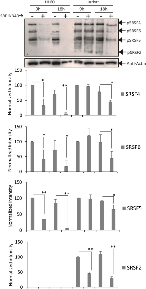 Effect of SRPIN340 treatment on SR protein phosphorylation.Western blotting analysis after treatment with SRPIN340 (100 μM) or negative control (vehicle) for 9 or 18 h. SR protein phosphorylation was detected using mAb1H4, which recognizes phosphorylated serine-arginine epitopes common to multiple SR factors. The blot was re-probed with actin and used as an endogenous control. Graphics (below) represent the percentage of the SR proteins' band intensity normalized to the actin signal for each HL60 and Jurkat negative control. Densitometry analysis was performed using ImageJ software. Error bars represent the means ± standard deviation from triplicate experiments. T tests, *P < 0.05, **P < 0.01.
