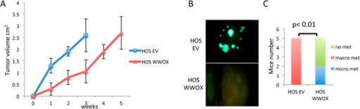 WWOX-overexpressing HOS cells display an impaired metastatic potential when injected intratibially.(A) HOS EV derived tumors grow much faster than HOS WWOX tumors. Measurements of tumor volumes were performed every week. (B,C) HOS-EV-GFP and HOS-WWOX-GFP cells were injected into the tibia (IT) of NOD/SCID mice (5 mice per group). Lung metastases were visualized by fluorescent imaging after 5 weeks from injection. (B) Representative images showing macrometastasis in HOS cells. (C) Quantification of micro (less than or equal to 2 mm) and macro (greater than 2 mm)–metastasis, as assessed by counting using fluorescent stereoscope.