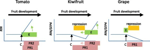 A simplified model of the role of RIN-like genes during fruit maturation and ripening in different scpecies. RIN expression (blue line) correlates with ethylene production (E). Once the fruit is competent to ripen (C) RIN can induce ethylene dependent ripening (Phase 2 ripening PR2), but in the absence of ethylene (and RIN), ethylene independent ripening progresses (Phase 1 ripening PR1). In tomato RIN activates both ethylene and itself (Alba et al. 2005, Fujisawa et al. 2013) [29, 56] progressing PR1 and PR2 ripening simultaneously, while in kiwifruit and grape there is a down regulation of RIN expression following competence to ripen (and in grape veraison) (Pilati et al. 2007) [57] allowing PR1 ripening to occur independently. In kiwifruit this repression can be reversed later in maturity, or with the application of ethylene. Kiwifruit thus shows a hybrid ethylene independent-dependent mechanism with phase 2 ripening being likely to be controlled by SEP4/RIN