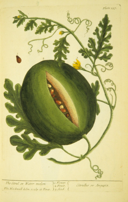<p>Illustration of the flower, fruit, and seeds of a watermelon plant.</p>