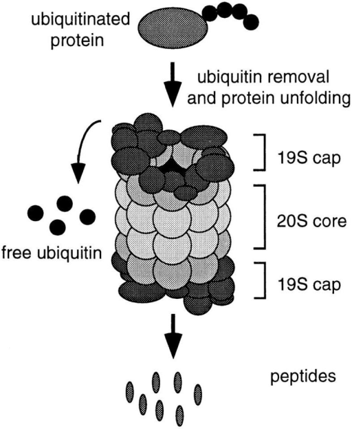 Schematic representation of a 26S proteasome. The 20S  proteolytic barrel structure is indicated in pale grey and the 19S  cap structures at either end are in dark grey. The caps are believed to recognize ubiquitinated proteins, unfold them, and feed  them into the proteolytic core in an ATP-dependent manner, resulting in the release of peptides and free ubiquitin.