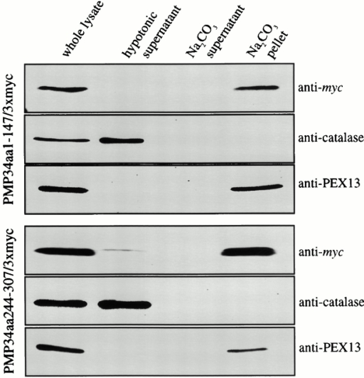 The two minimal targeting regions of PMP34 are inserted into the peroxisomal membrane. Human skin fibroblasts expressing PMP34aa1–147/3xmyc or PMP34aa244–307/3xmyc were lysed by thorough mixing in hypotonic buffer. Membranes were pelleted by centrifugation, separated from the supernatant, and incubated in alkaline sodium phosphate buffer. Membranes were then pelleted again, separated from the supernatant, and resuspended. All fractions were diluted to the initial volume of whole lysate. Equal volumes of each fraction were then assayed by immunoblot using antibodies against the c-myc epitope, the soluble peroxisomal matrix enzyme catalase, and the integral PMP PEX13.