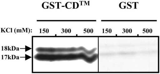 Rtm binds to the cytoplasmic domain of Env protein. Purified recombinant GST-CD™ or GST alone were incubated with in vitro-translated Rtm protein labeled with [35S]methionine. The beads were washed six times in the presence of different ionic strengths of KCl, as indicated, and the bound proteins were subjected to 15% SDS-PAGE analysis and autoradiography.