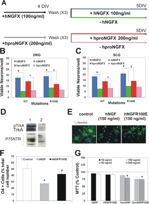 hNGF mutant bioactivity on survival of NGF sympathetic and sensory                            neurons and oligodendrocyte progenitor cells (OPCs)                            differentiation.(A), Experimental scheme of induction of NGF dependence in mouse dorsal                            root ganglia and superior cervical ganglia neurons and hNGF induced                            survival. The mutant hNGFR100E is as effective as wild type hNGF in                            determining the survival and differentiation of mouse (B) dorsal root                            ganglia sensory neurons and (C) superior cervical ganglia, after a 4                            days exposure. hproNGFR100E mutant is less effective than hNGF mutants                            and hproNGF in inducing cells survival in (B) DRGs. (C) hproNGFR100E is                            less effective in the SCG survival test. (D) Cultured rat OPCs express                            only the p75NTR receptor. (E) Expression of the oligodendroccyte                            differentiation marker O4 is reduced in presence of hNGF but not by                            hNGFR100E. (F) Quantification of the percentage of differentiating OPCs                            after exposure to hNGF or hNGFR100E. (G) hproNGF and hproNGFR100E induce                            toxicity in rat OPCs at the dose of 300 ng/ml.
